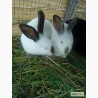 Продаются кролики калифорнийские