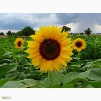 Гибриды семена подсолнечника под ЕВРОЛАЙТИНГ (Сlearfield)