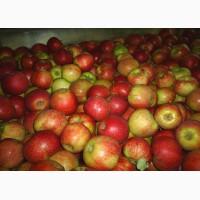 Яблоки оптом 65+ от производителя 53 руб./кг