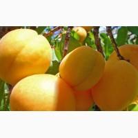 Продам оптом абрикоси