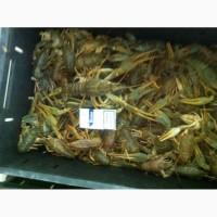 Продам живую рыбу малек Карпа, белого амура, сома, окуня, толстолоба, и раки живиеи