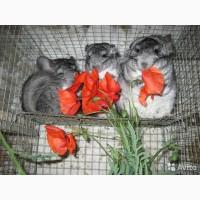 Шиншиллы Серебристо-серый Стандарт, Фиолетовые и Черный Бархат от Заводчика