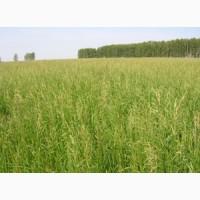 ООО НПП «Зарайские семена» продает семена костреца безостого