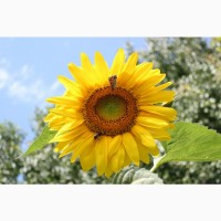 Гибриды семена подсолнечника ЛГ 59580 (Лимагрейн, Limagrain)