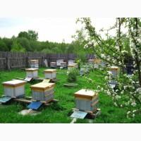 Продам пчелосемьи среднерусской породы в отличном состоянии