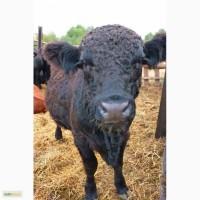 Бычки, быки, КРС мясная порода