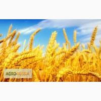 Продам семена пшеницы маргарита элита