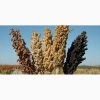 Семена сорго: Зерноградское 88, Дебют, Гибрид Аляска(USA)