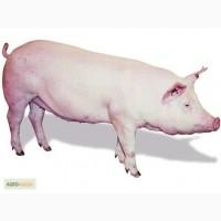 Продам чистопородных свиней