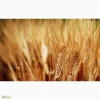 Пшеница 3 класс на Иран