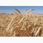 Поставка пшеницы 4 класса