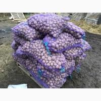 Картофель оптом с Калужской области