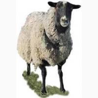 Продам ярок (овец) романовской породы для разведения