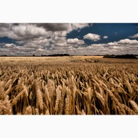 Закупаем пшеницу продовольственную и фуражную