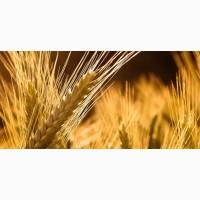 ООО НПП «Зарайские семена» продает фуражный ячмень