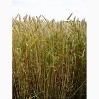 Семена озимой мягкой пшеницы сорт Стан ЭС/РС1