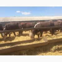 Коровы, быки, нетели, тёлки, телята.КРС
