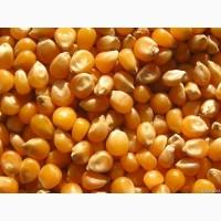 Реализация цельной, колотой и дробленой фуражной кукурузы