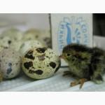 Продам перепелиные яйца на инкубацию.