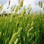 Продам семена Тимофеевка луговая