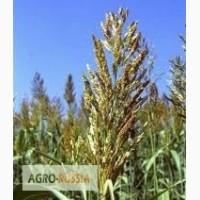 Продам семена суданской травы. (Суданка, семена)