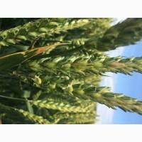 Семена озимой пшеницы сорт Есаул ЭС/РС1/РС2
