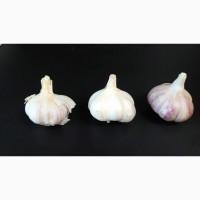 Продажа озимого чеснока, сорт Любаша. Урожай 2021 г