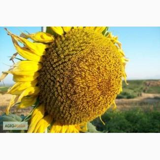 Семена гибридов подсолнечника Мегасан, Тунка, LG5580, ЛГ 5550, ЛГ 5485 от (Limagrain)