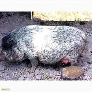 Вьетнамские хряки, свиноматки, поросята