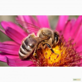 Пчелопакеты 4-х рамочные карпатка