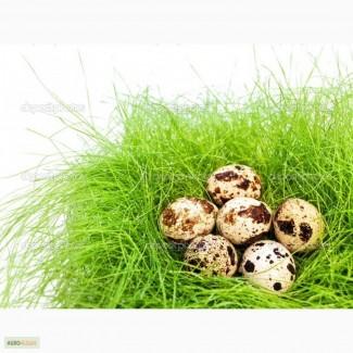 Проедаем домашние перепелиное яйца и перепелиное мясо