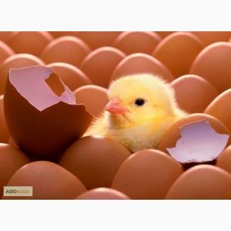Инкубационное яйцо кур-несушек породы Родонит-3