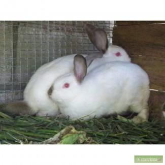 Домашние кролики- калифорнийцы