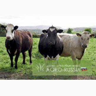 КРС оптом.Быки телки коровы нетели бычки