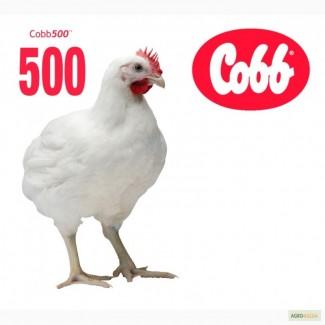 Инкубационное яйцо бройлера Кобб-500, Росс-308