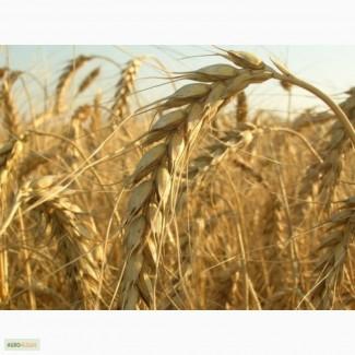 Поставим пшеницу 3 класса