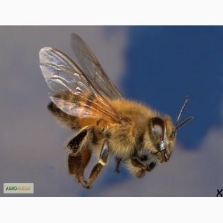 Пчелопакеты Карпатка в Иркутске