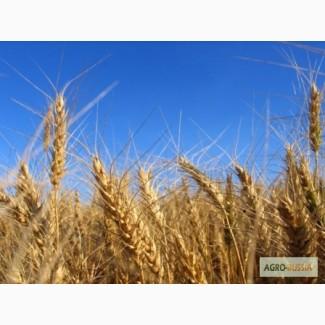 Продам пшеницу 3 класса