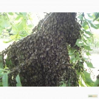 Пчелопакеты. Карпатка. Доставка бесплатная