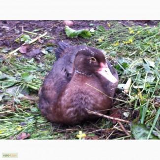 Селезни индоутки (мускусной утки) возраст 9 и 11 месяцев