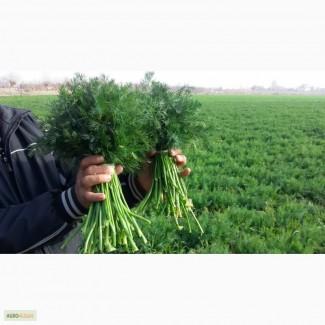 Зелень:укроп и петрушка из Узбекистана