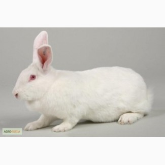 Кролики HyCole