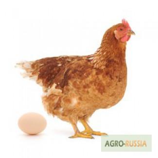 Повышение яйценоскости птицы