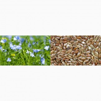 Семена льна массличного сорт «Небесный»
