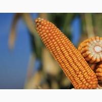Купить семена кукурузы Сильвинио по низкой цене