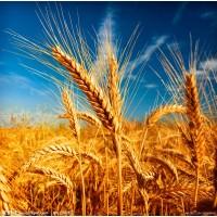 Пшеница фоб Новороссийск - 132