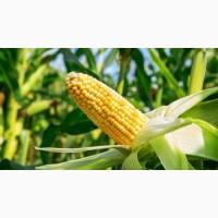 Семена кукурузы РОСС 140 СВ