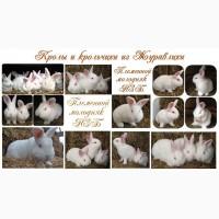 Кролики мясной новозеландской породы НЗБ.НЗК