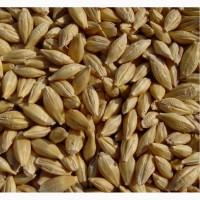 Семена озимого ячменя Спринтер