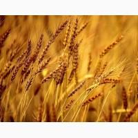 Продаем семена ржи многолетней и озимой